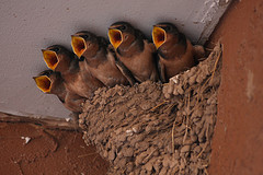 Barn Swallow Nest. Photo by: J.N. Stuart