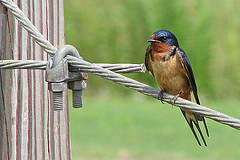 Barn Swallow. Photo by: Vicki Deloach