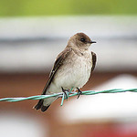Northern Rough-Winged Swallow. Photo by: Don Faulkner