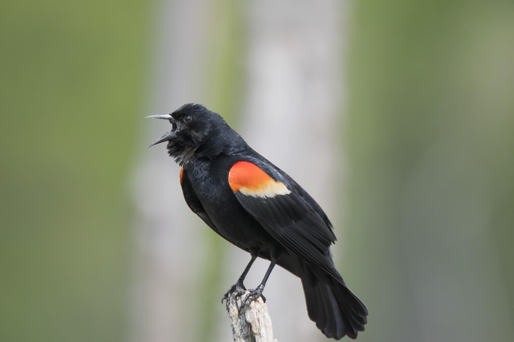 Malgré la COVID-19, nous sommes toujours au travail pour les oiseaux du Canada!