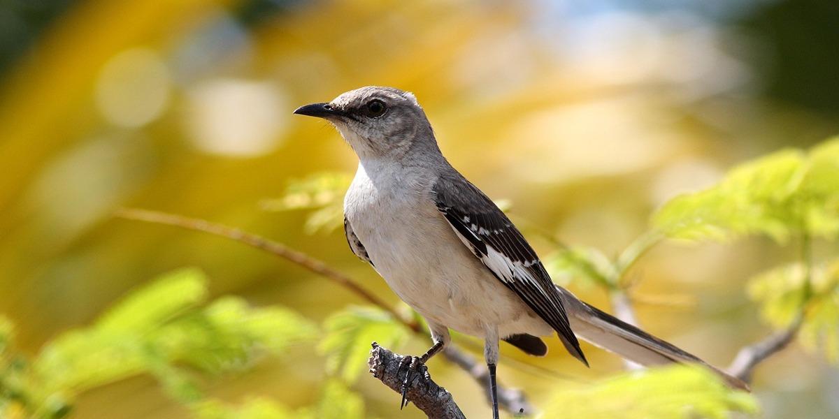 Retour en force de la Migratory Bird Treaty Act : une victoire pour les oiseaux et leurs défenseurs!
