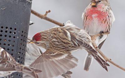 Avec le Projet FeederWatch, vous serez aux oiseaux cet hiver!