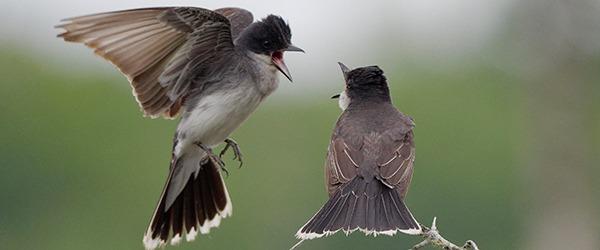 Oyez! Oyez! La période d'inscription au 3e Atlas des oiseaux nicheurs de l'Ontario est ouverte!
