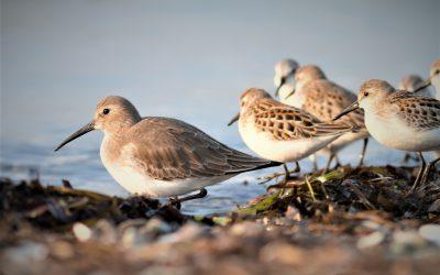Étude du déclin des populations de limicoles migrateurs: une perspective hémisphérique