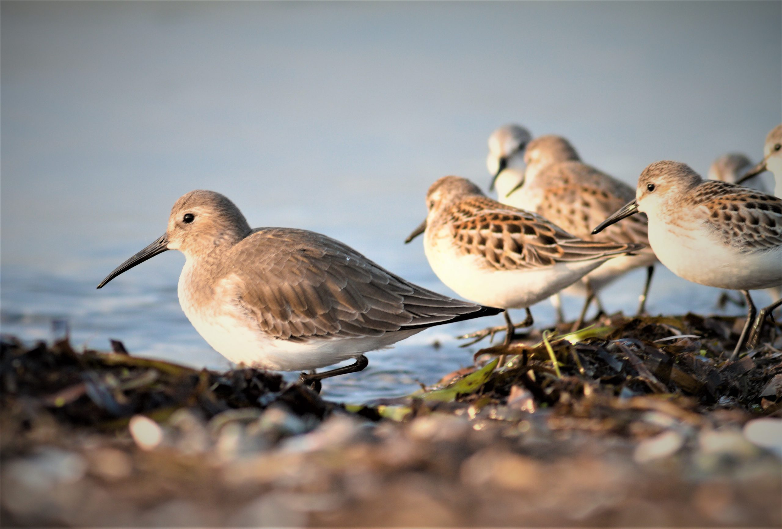 Shorebirds (Dunlin and Western Sandpipers) roosting
