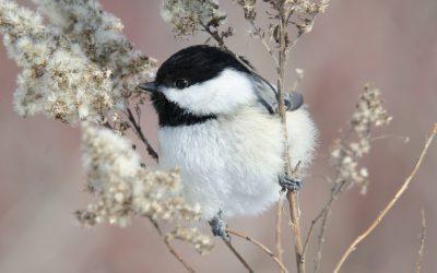 Donnez un cadeau qui soutient la conservation des oiseaux