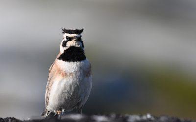 Effets des changements climatiques et des extrêmes météorologiques sur les oiseaux alpins