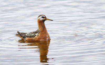 L'administration Trump finissante met les oiseaux migrateurs en danger