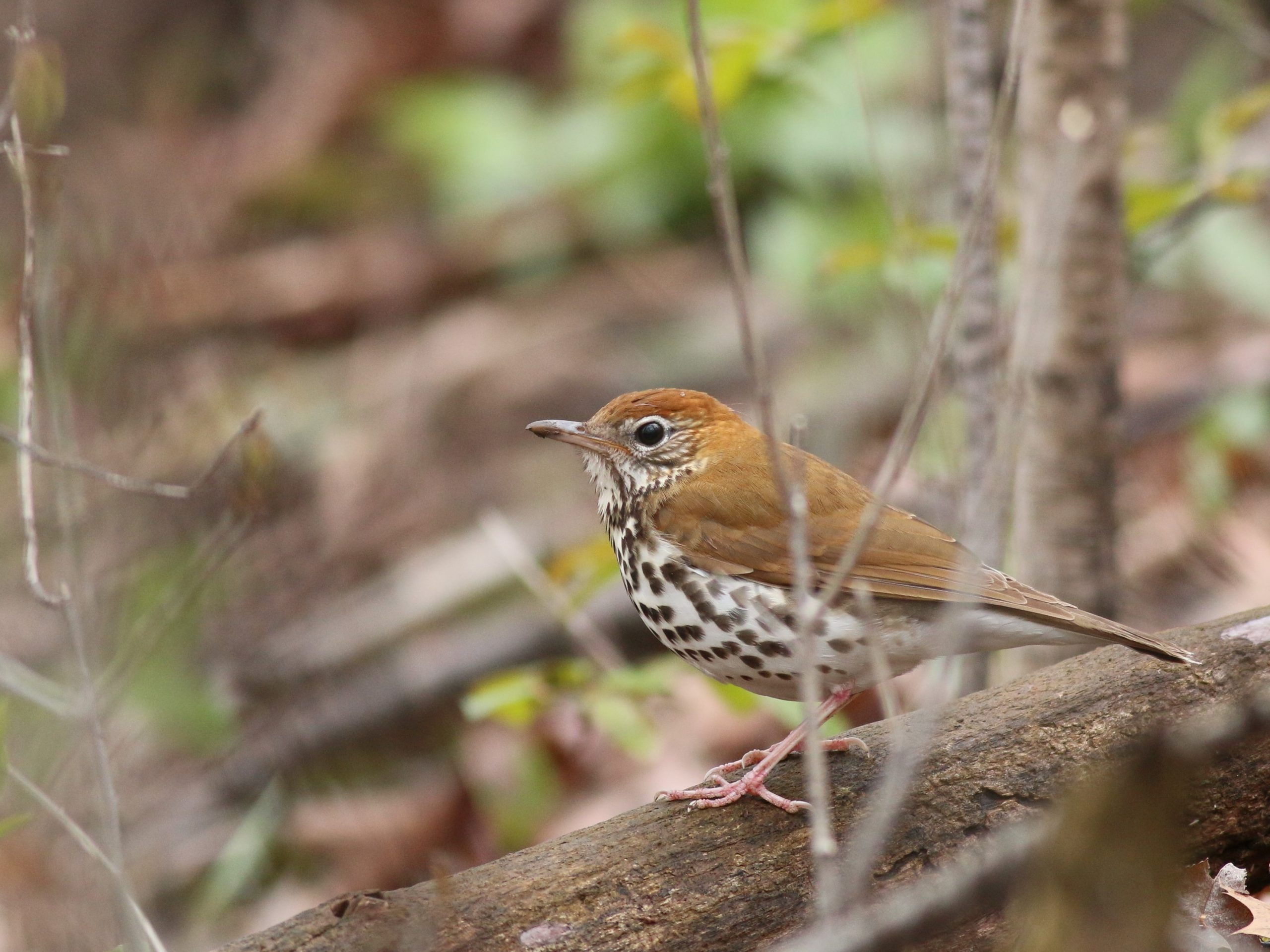 Wood Thrush on a log