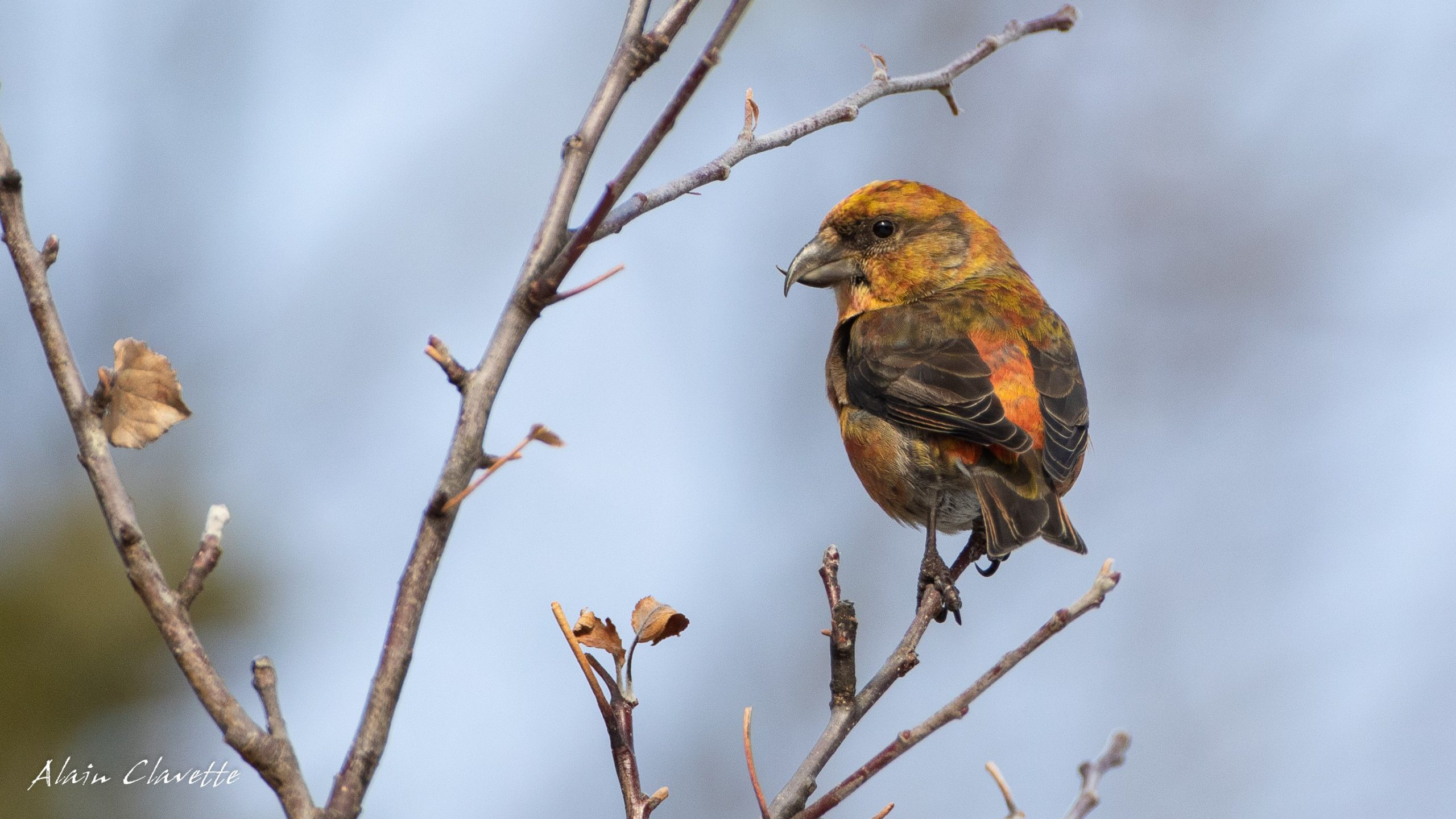 A male Red Crossbill showing its namesake crossed bill